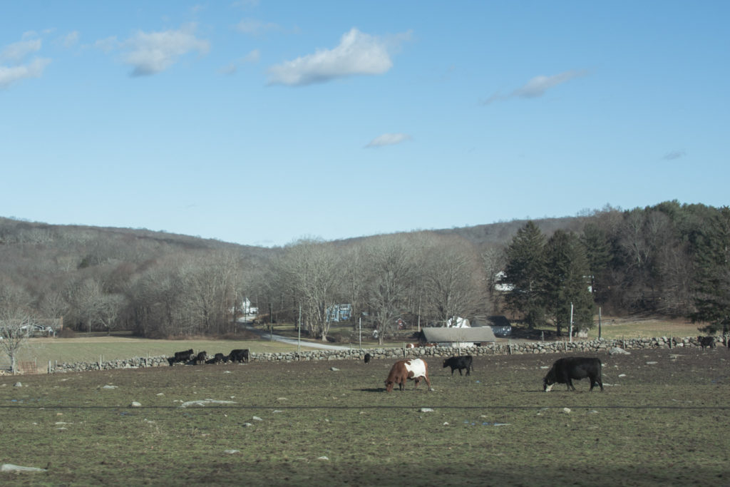 cows graze in a meadow during winter in new england, photographed by jamie bannon photography.