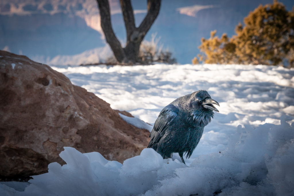 a raven crows in the snow at the south rim of the grand canyon in arizona during winter, photographed by jamie bannon photography.