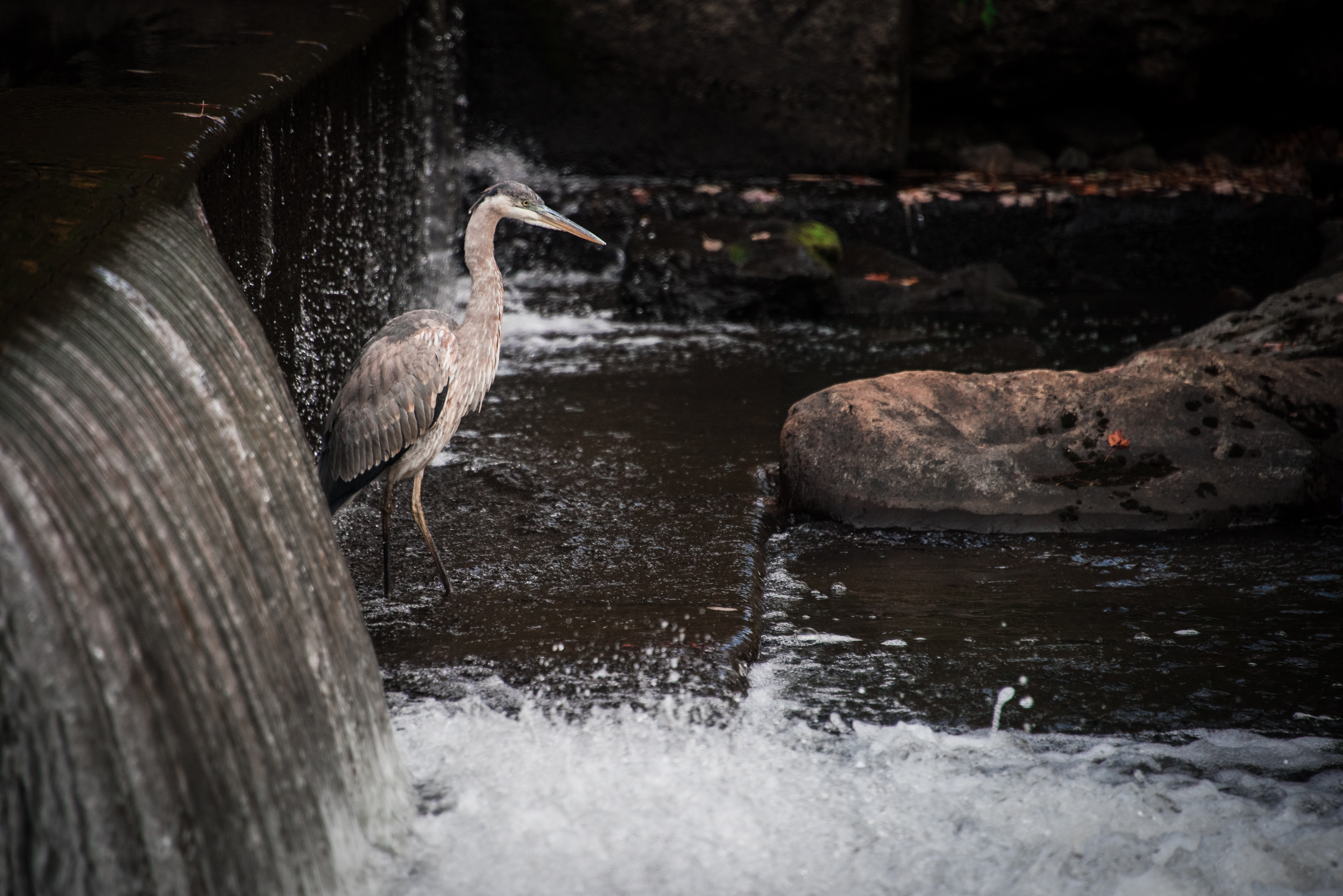 a blue heron stands in the water in vermont, photographed by jamie bannon photography.