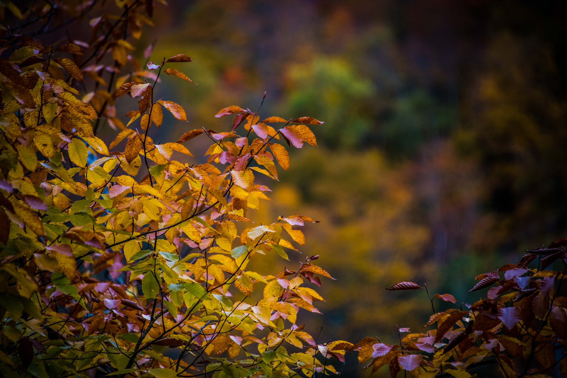 detail of colorful leaves during fall in vermont, photographed by jamie bannon photography.